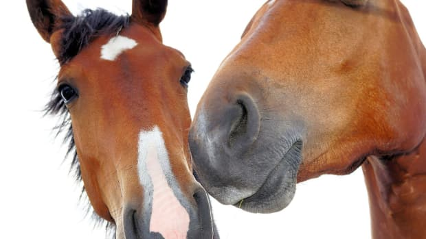 horses-and-their-sense-of-smell