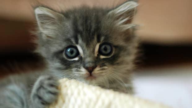 adopting-a-munchkin-kitten