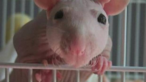 how-to-hand-raise-baby-rodents