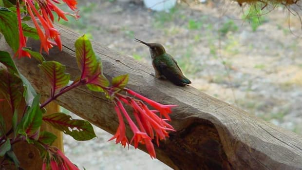 attracting-hummingbirds-to-your-backyard-habitat