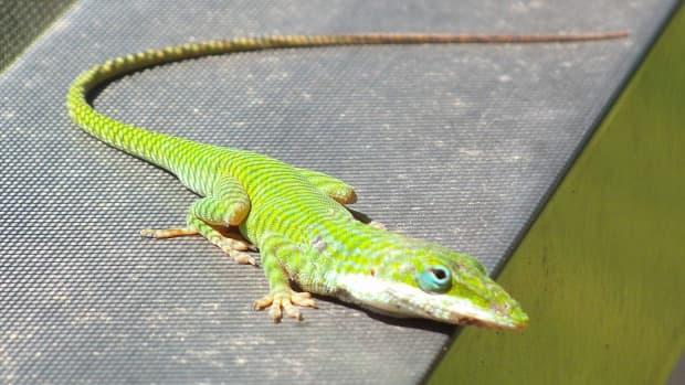 observing-florida-lizards