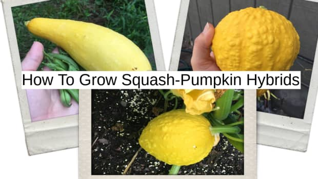 how-to-grow-squash-pumpkin-hybrids