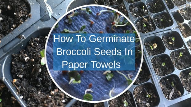 how-to-germinate-broccoli-seeds-in-a-paper-towel