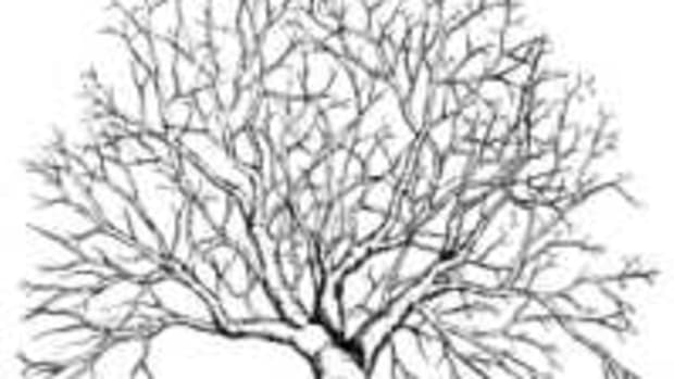 an-illustrated-guide-for-pruning-an-overgrown-apple-tree