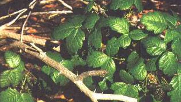 poison-oak-and-sumac-treatment-pictures-and-symptoms