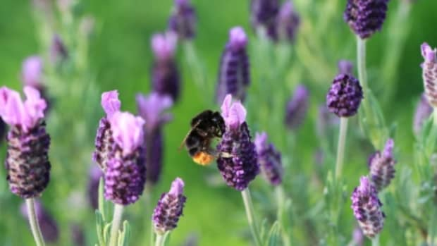 how-to-make-lavender-and-patchouli-body-wash