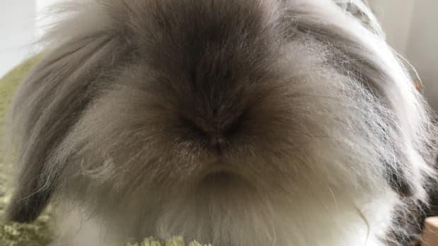 what-is-a-blue-point-lion-lop-rabbit