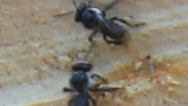 stingless-native-bees