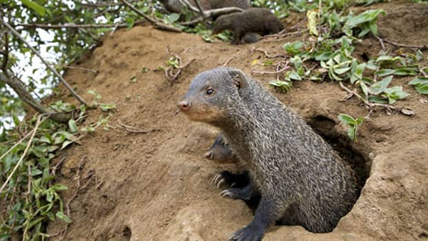 weird-animals-banded-mongoose-and-warthog