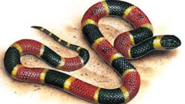 poisonous-snakes-the-coral-snake