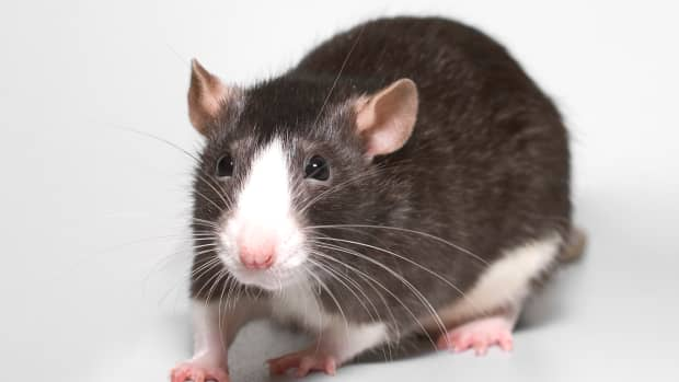 before-you-buy-a-rat