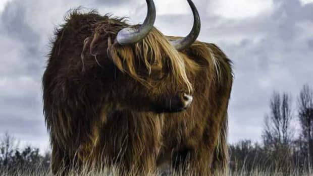 power-animal-and-totem-cattle-cow-and-bull-symbolism