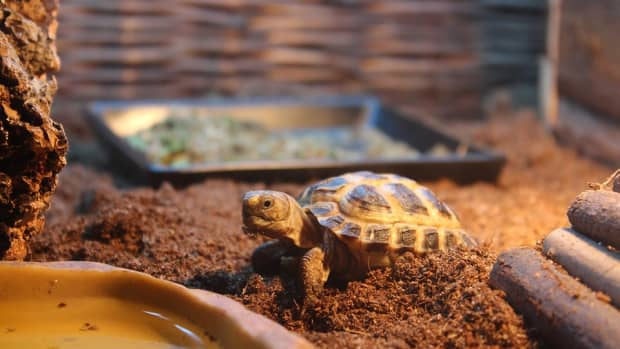 small-tortoise-breeds-you-can-keep-as-pets