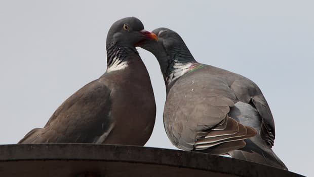 how-to-stop-pigeons-from-roosting-on-your-roof-using-humane-eco-friendly-methods