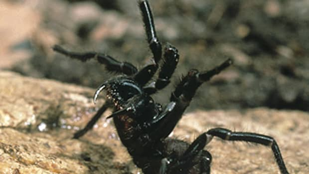 poisonous-and-venomous-spiders-snakes-and-insects-in-australia
