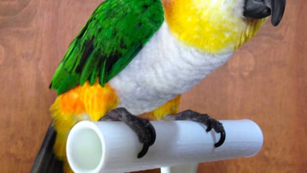 aggression-in-black-headed-caiques