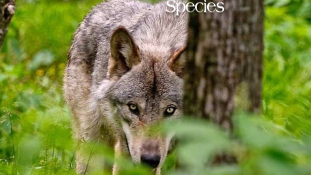 wolves-which-are-very-social-animals