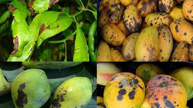 compendium-of-diseases-mango
