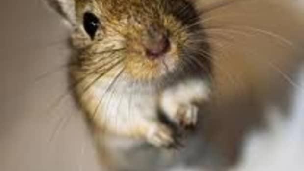 5-reasons-why-gerbils-make-good-pets