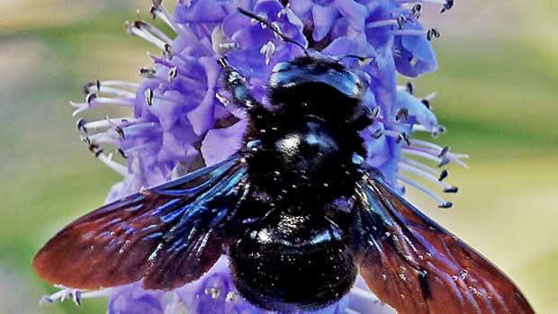 the-violet-carpenter-bee-xylocopa-violacea