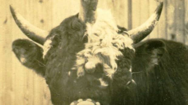 andy-the-2-headed-bull