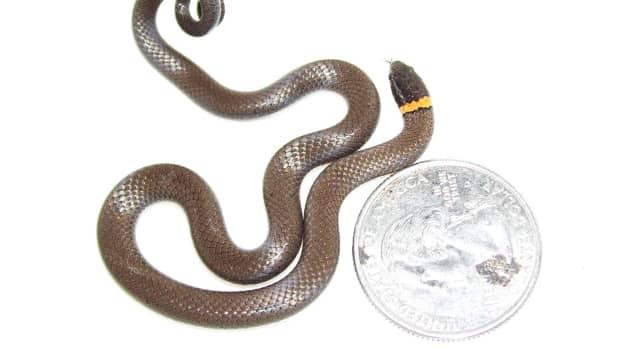 southern-ringneck-snake-a-little-oklahoma-nature