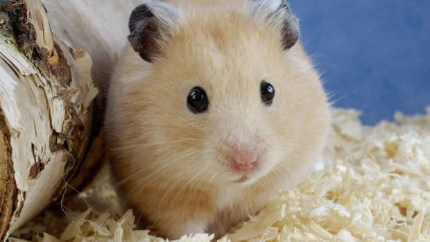 which-type-of-hamster-is-right-for-you