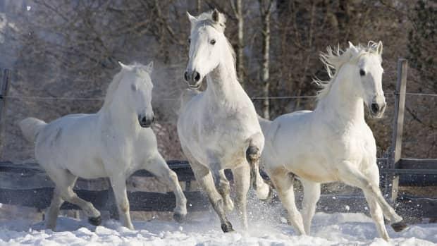 rare-horse-breed-facts-lipizzaner