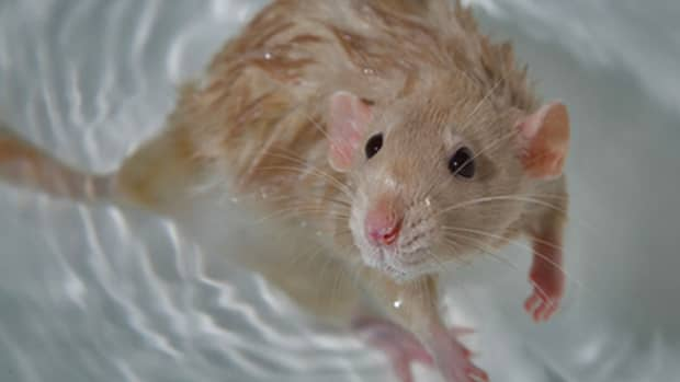 bathing-your-rats