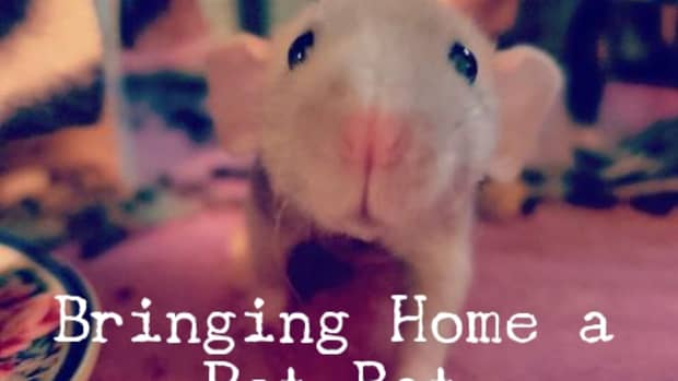 what-to-do-on-the-first-day-with-your-new-pet-rat