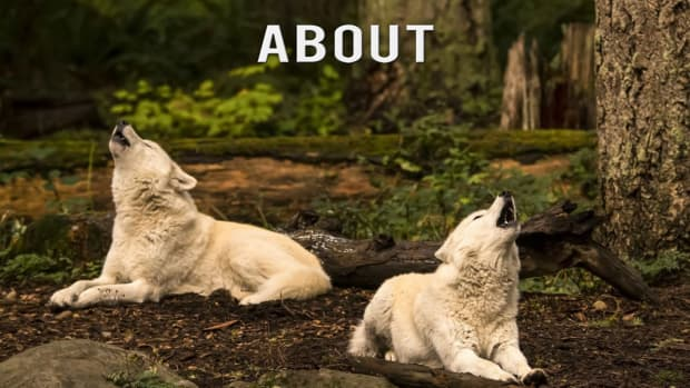 11-most-interesting-information-about-wolves