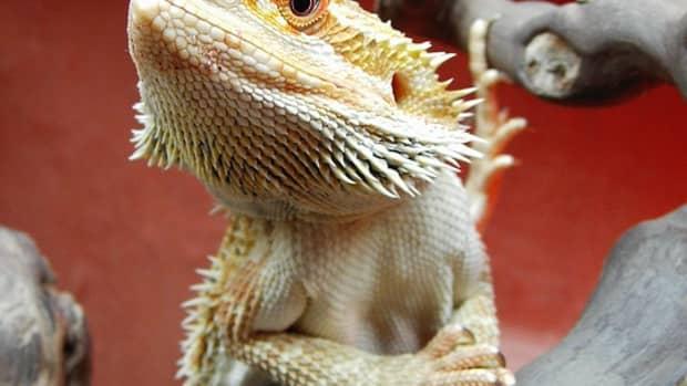 citrus-bearded-dragons