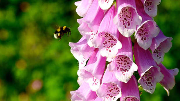 medicines-from-plants-digitalis-and-taxol