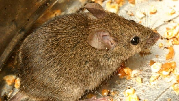 when-mice-take-over-how-to-get-rid-of-mice-in-your-home