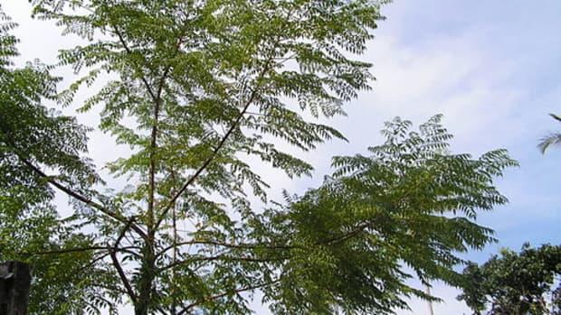 neem-trees