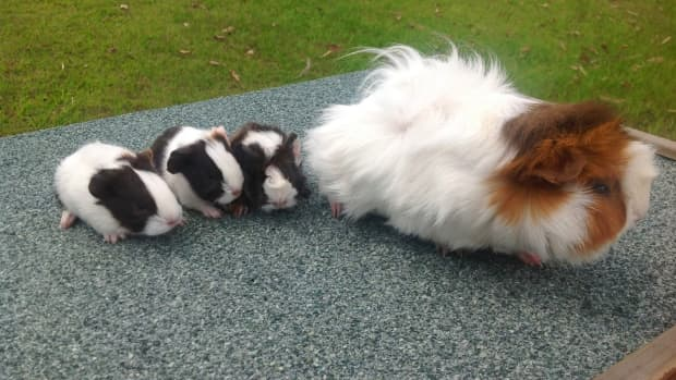 how-to-safely-breed-guinea-pigs