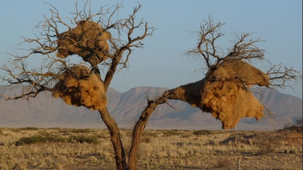 sociable-weavers-african-birds-facts