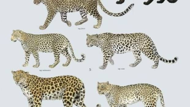 colour-variations-in-leopards