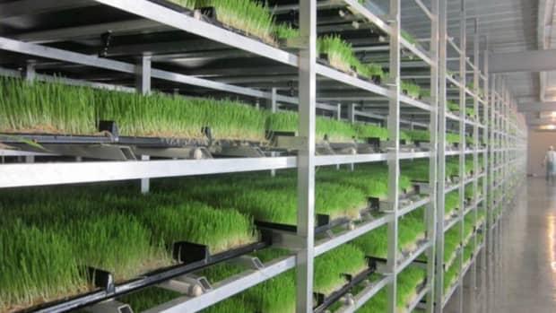 barley-fodder-sprouts-week-1