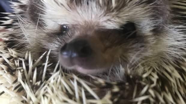 hedgehog-care