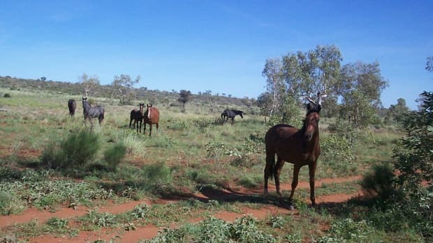 problems-caused-by-introduced-hoofed-animals-in-australia