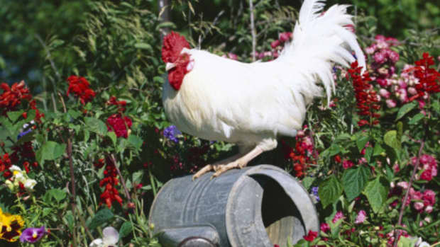the-trouble-with-roosters