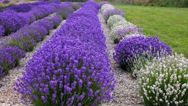 yardley-of-london-english-lavender