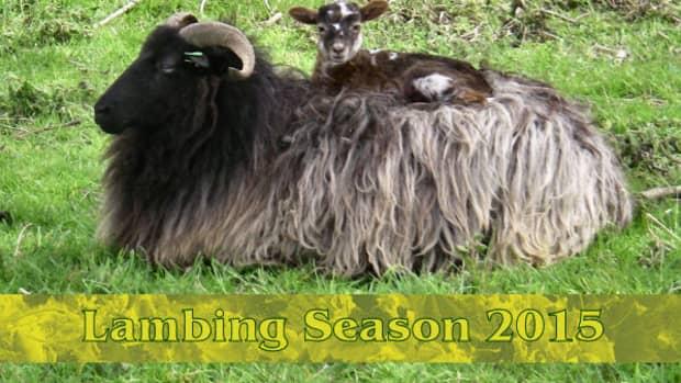 lambing-season-2015