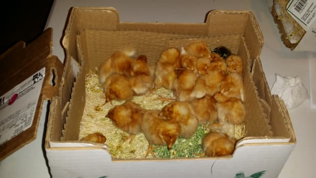 what-you-need-to-know-before-deciding-to-raise-extra-roosters-for-meat