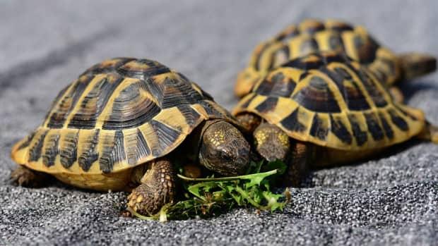 pet-tortoise-types