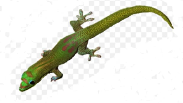 a-safe-and-natural-way-to-repel-gecko-lizards