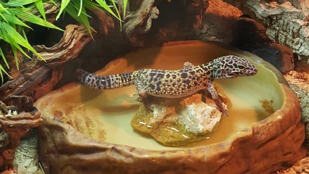 leopard-gecko-humidity
