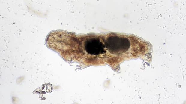 tardigrades-facts-about-strange-water-bears-or-moss-piglets