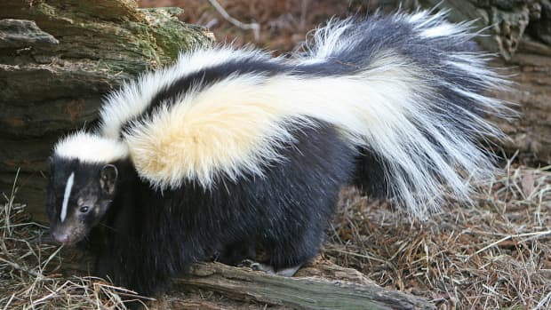 sent-home-from-school-because-of-a-skunk
